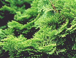 ヒノキ・檜(針葉樹)