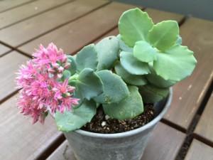 淡いピンクの愛らしいミセバヤの花