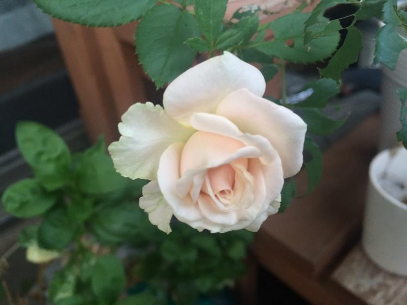 春のバラ。淡いピック色でした。